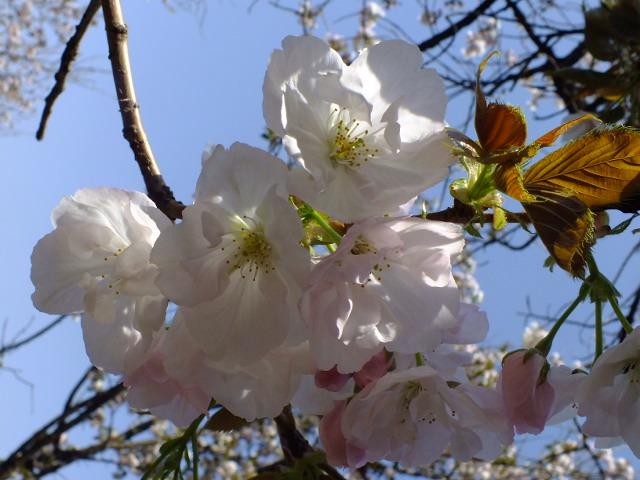 4月11日 日本花の会結城農場の桜 その2_e0145782_1694423.jpg
