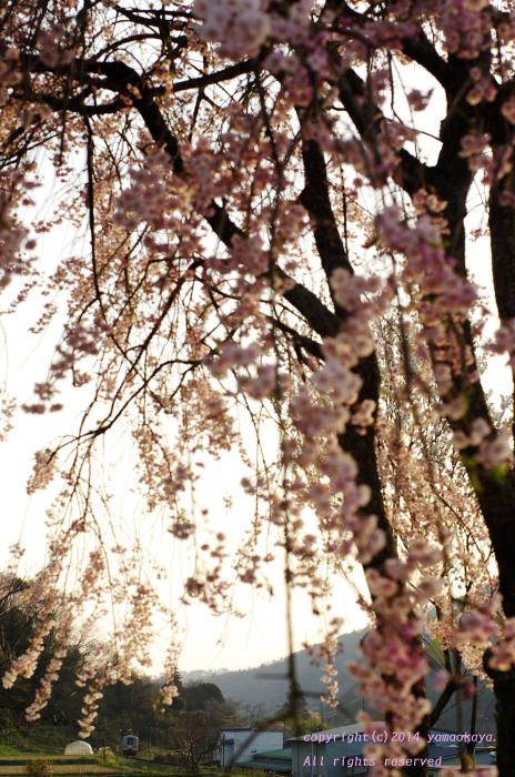 黄昏枝垂桜_d0309612_0192471.jpg
