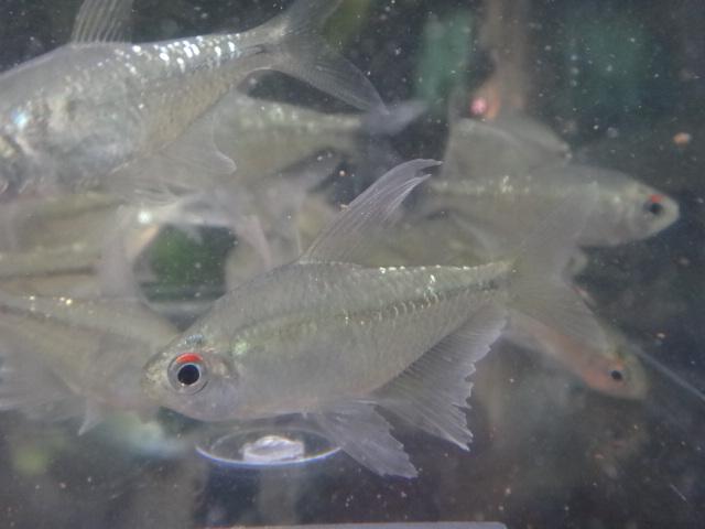 140417 熱帯魚・水草_f0189122_13151460.jpg