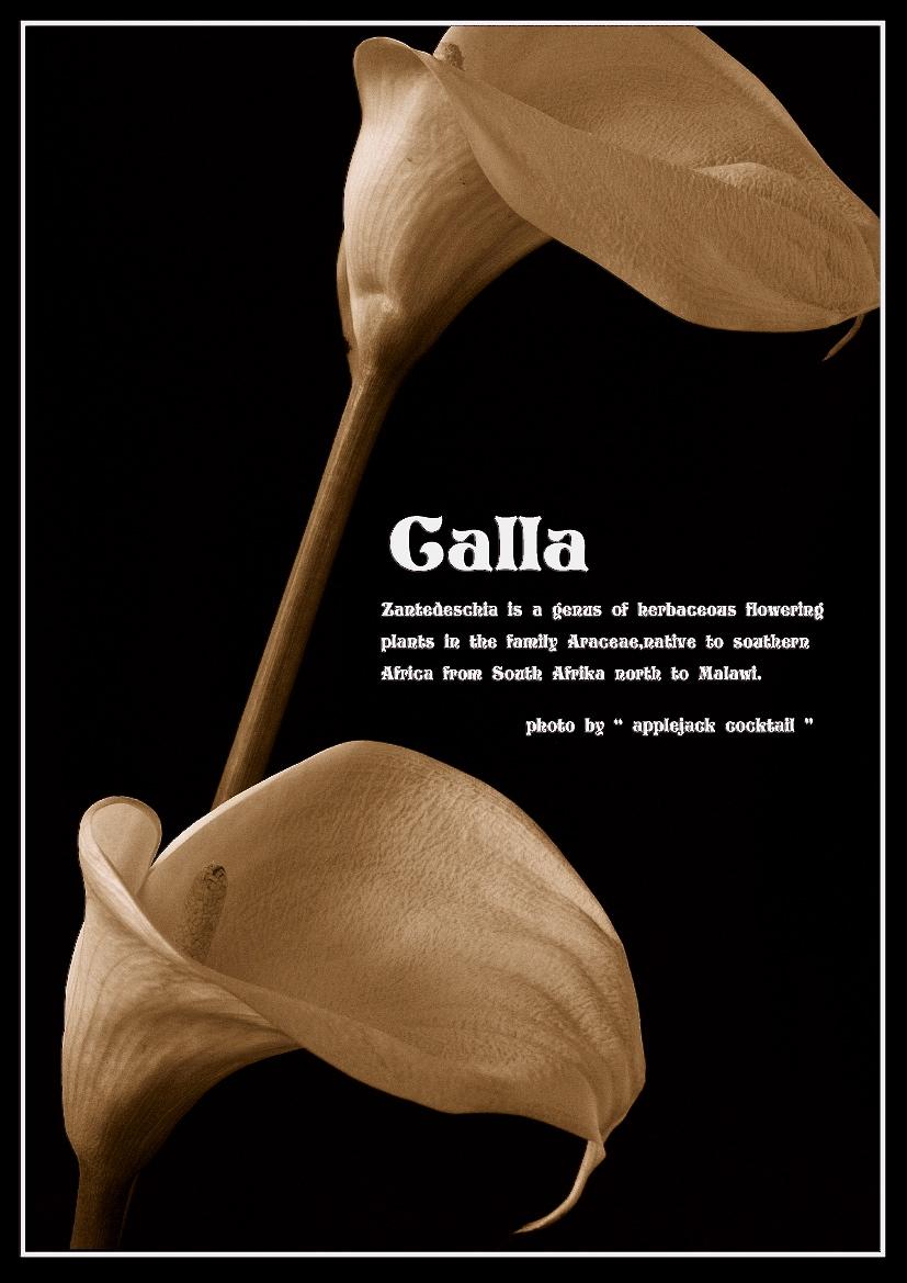 """ Calla 2 \""_f0315034_03103578.jpg"