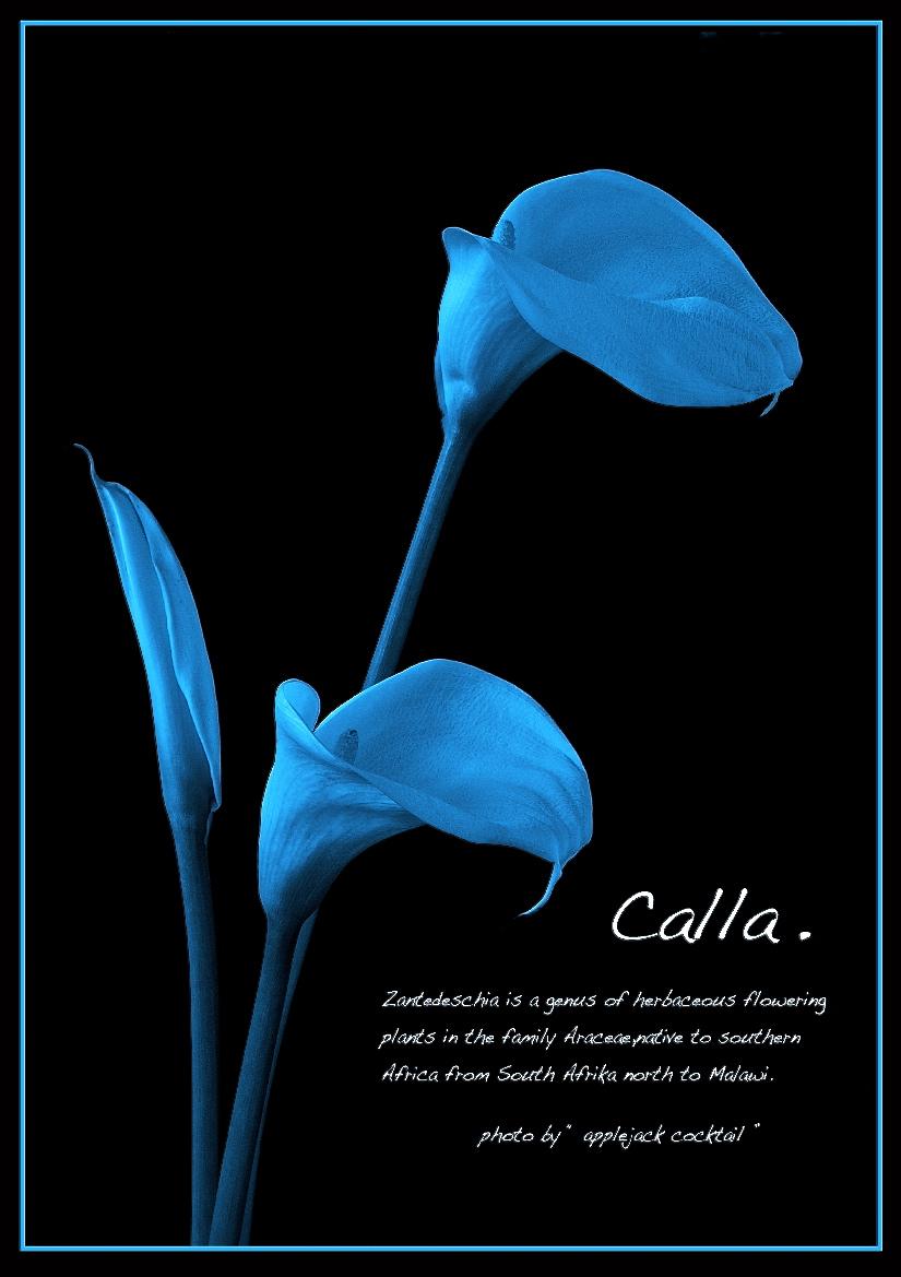""" Calla 2 \""_f0315034_03115546.jpg"