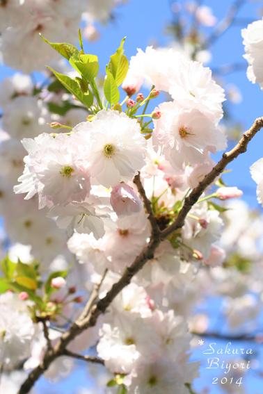 制作日和* Sakura Biyori 2014_e0073946_16172552.jpg