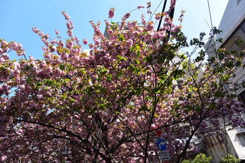 お店の前の八重桜も満開です!!&4月18日(金)のランチメニュー_d0243849_23402143.jpg