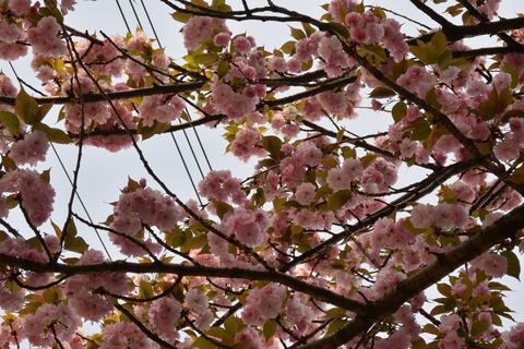 お店の前の八重桜も満開です!!&4月18日(金)のランチメニュー_d0243849_23412247.jpg