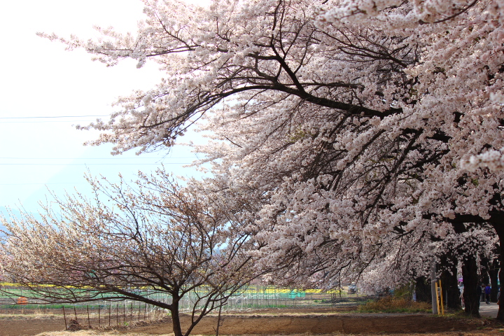 桜_b0129362_21543632.jpg