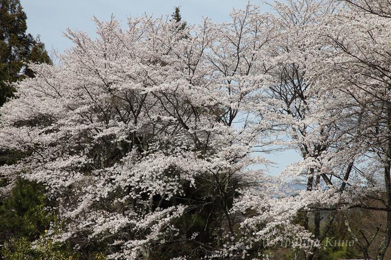 今年の桜 2_a0256586_21285761.jpg