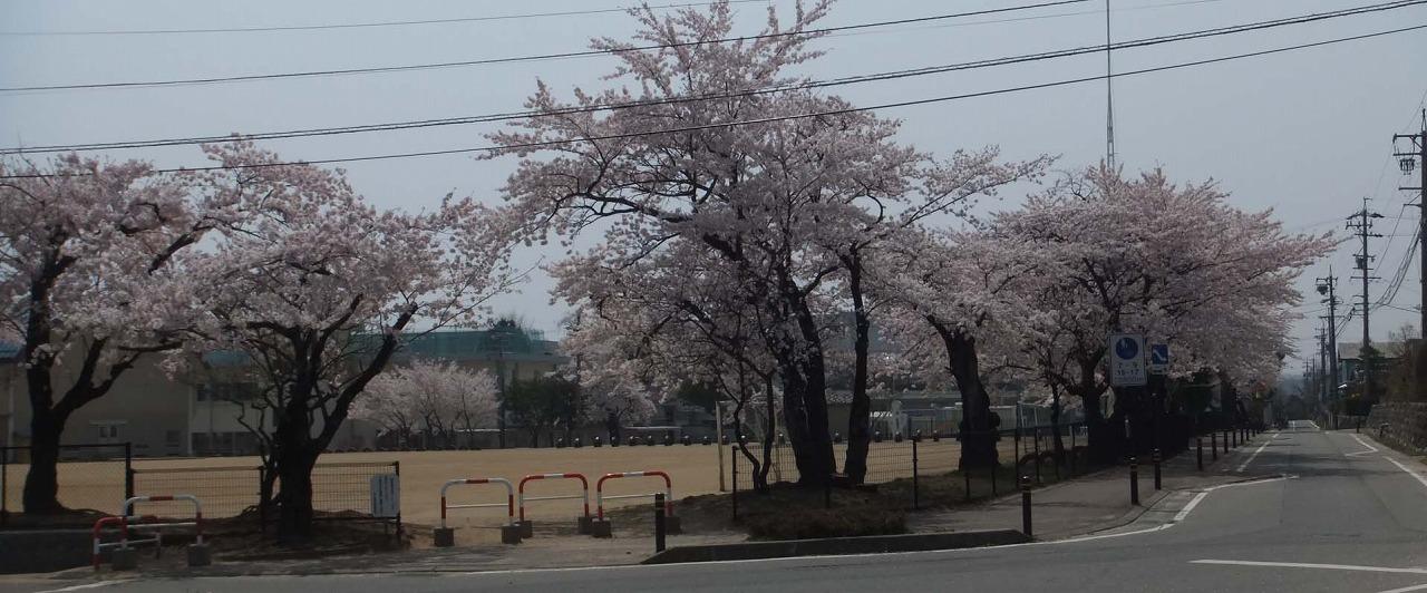 ようやく桜情報_e0187897_1121501.jpg