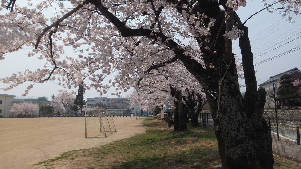 ようやく桜情報_e0187897_1122070.jpg