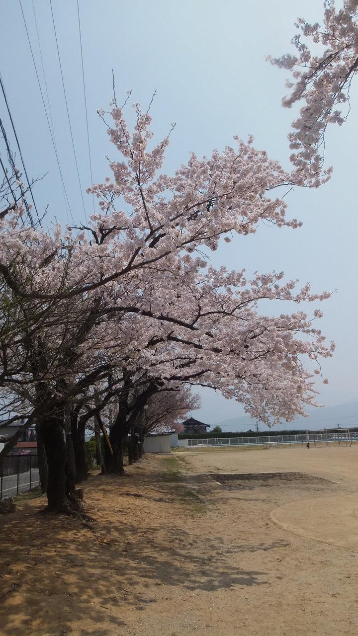 ようやく桜情報_e0187897_11221267.jpg