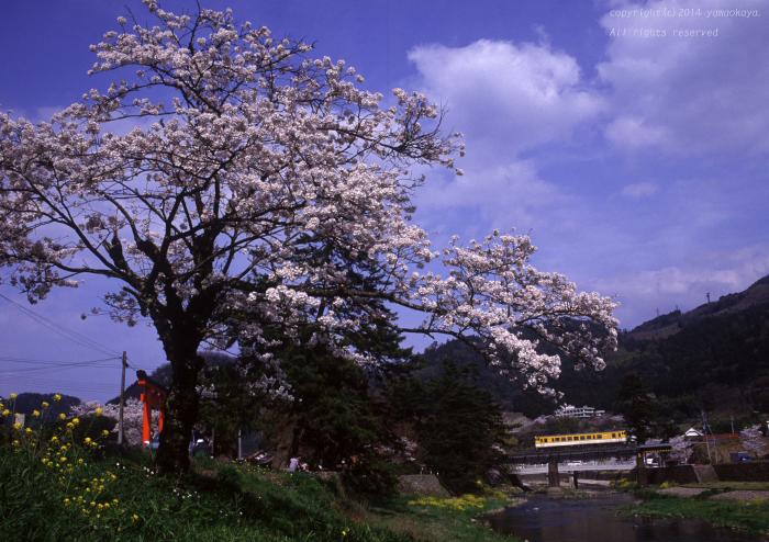 津和野の桜を_d0309612_21525616.jpg