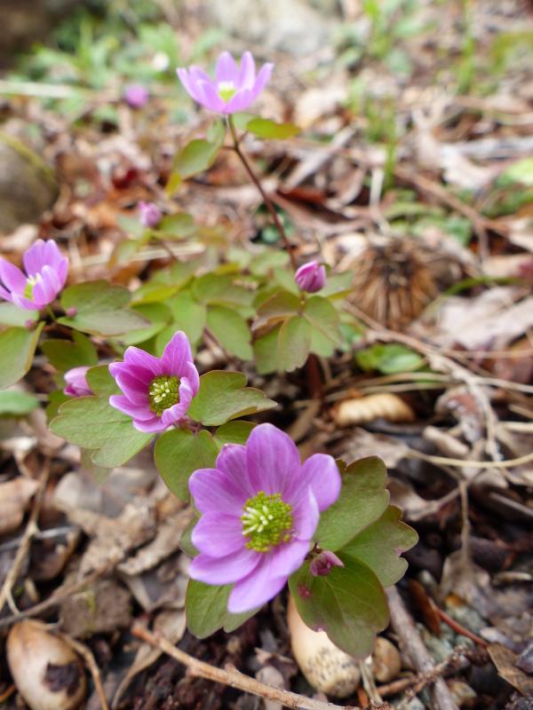春の山野草_a0288621_21142998.jpg