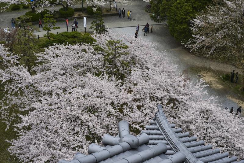 長浜城 天守より 桜花を望む  2014 0413_d0246136_18314341.jpg