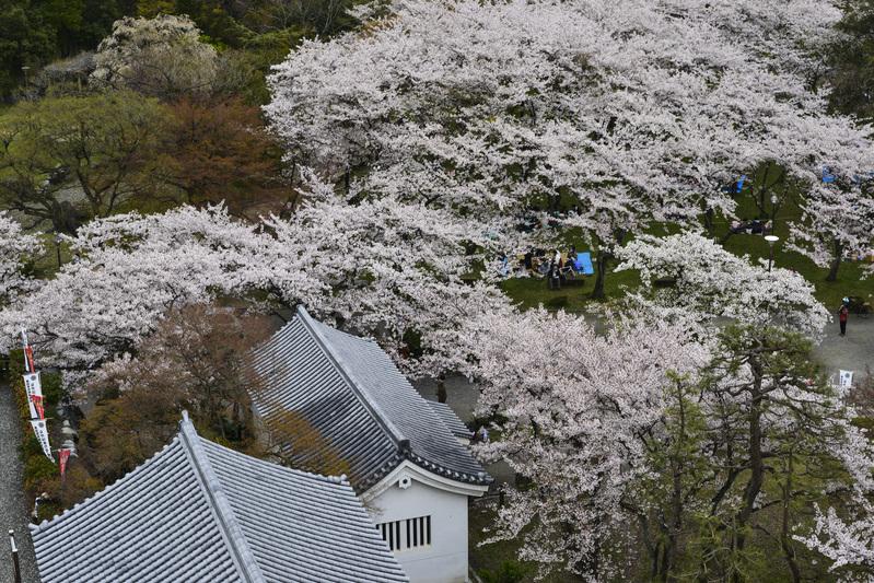 長浜城 天守より 桜花を望む  2014 0413_d0246136_18321558.jpg
