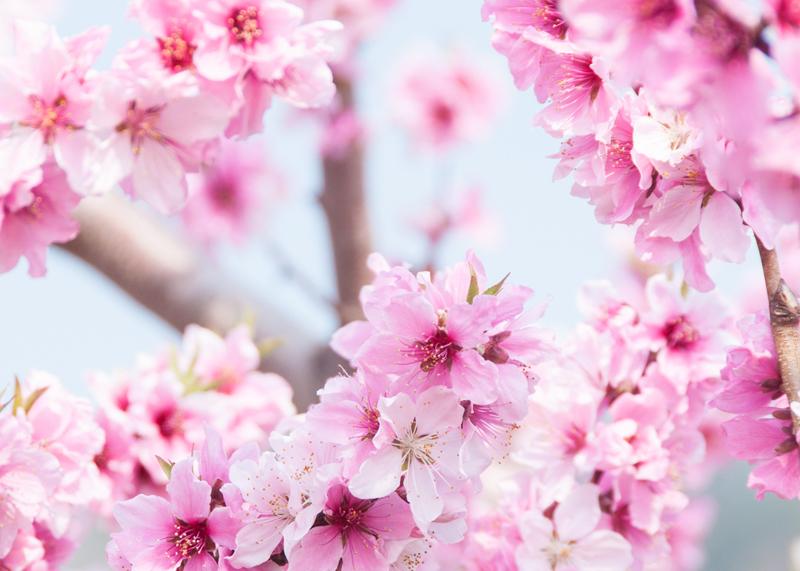 桃の花/山梨県へことりっぷ(1)_d0214541_10124190.jpg