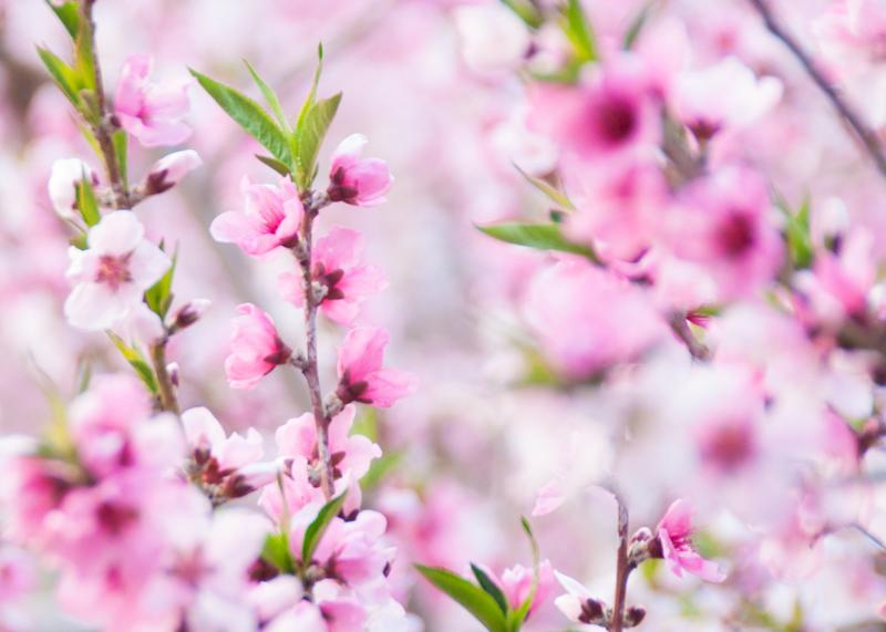 桃の花/山梨県へことりっぷ(1)_d0214541_1012429.jpg