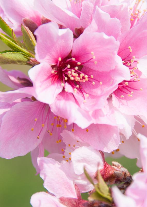 桃の花/山梨県へことりっぷ(1)_d0214541_10124541.jpg
