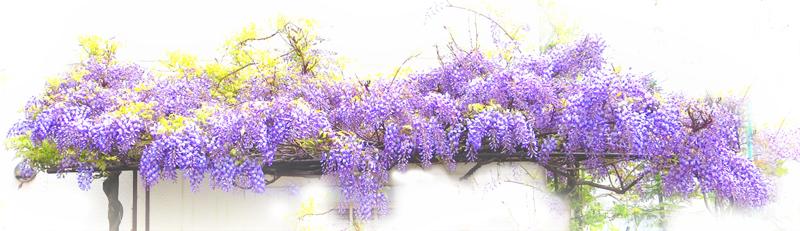 藤の花_d0129249_17422198.jpg