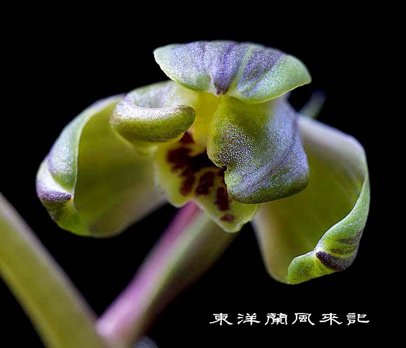 中国蘭九華「関頂」                   No.1389_d0103457_12335849.jpg