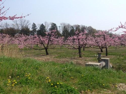 桃の花畑_f0230767_16533137.jpg