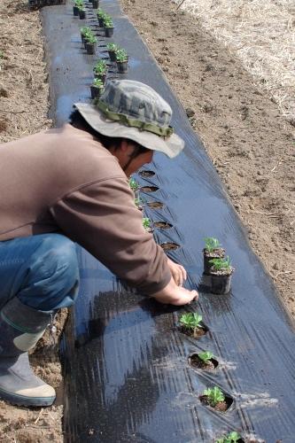 露地スナップエンドウやブロッコリーを植える_c0110869_12451446.jpg