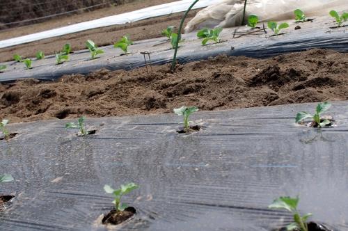 露地スナップエンドウやブロッコリーを植える_c0110869_12452489.jpg
