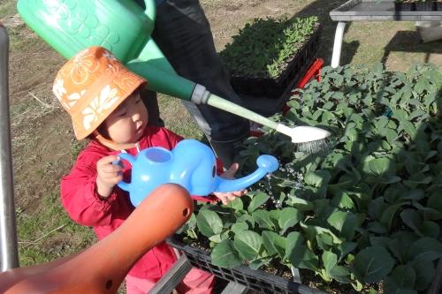露地スナップエンドウやブロッコリーを植える_c0110869_12453313.jpg