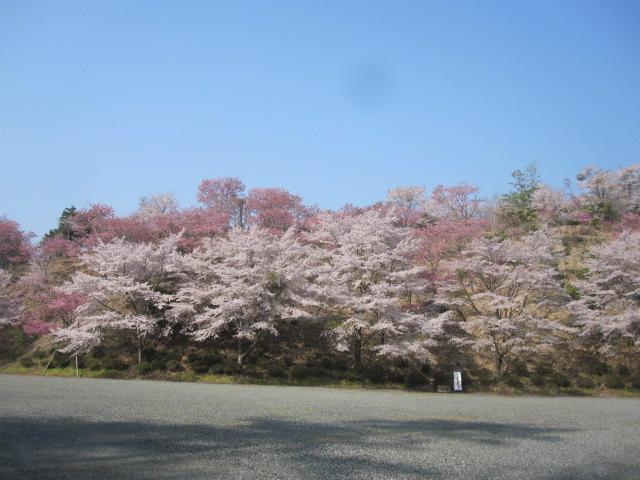 美咲花山園の 桜_f0085369_1735575.jpg