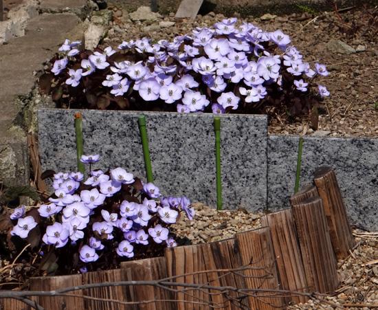小さな段々花壇のタツタソウ2014 (18日、追記有り)_a0136293_17272511.jpg