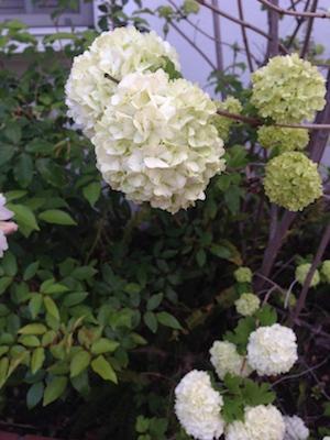 桜から大手毬へ_d0154102_10531696.jpg