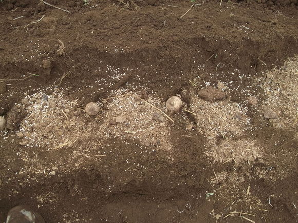 里芋の植え付け,,ジャガイモの芽かき_b0137932_17592221.jpg