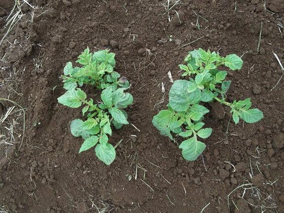 里芋の植え付け,,ジャガイモの芽かき_b0137932_180353.jpg