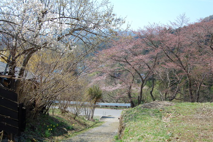 桜が咲き始めました_d0249047_10482830.jpg