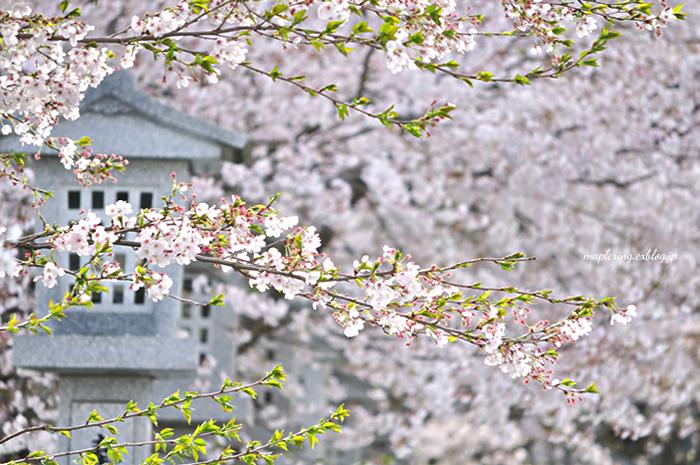 桜2014_f0234062_23144173.jpg