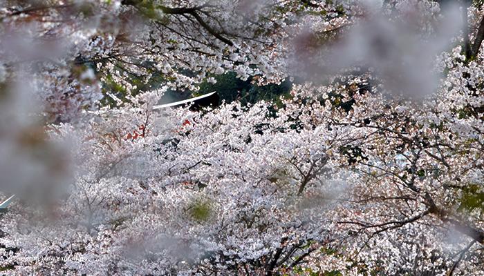 桜2014_f0234062_2315172.jpg
