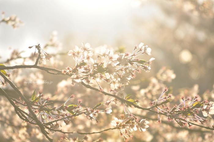桜2014_f0234062_2333162.jpg