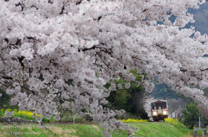桜のトンネル_d0309612_0384935.jpg