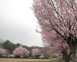 山麓 桜前線通過中_d0050155_8422117.jpg