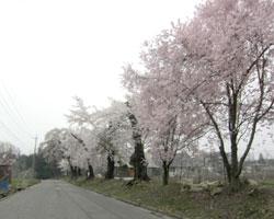 山麓 桜前線通過中_d0050155_842512.jpg