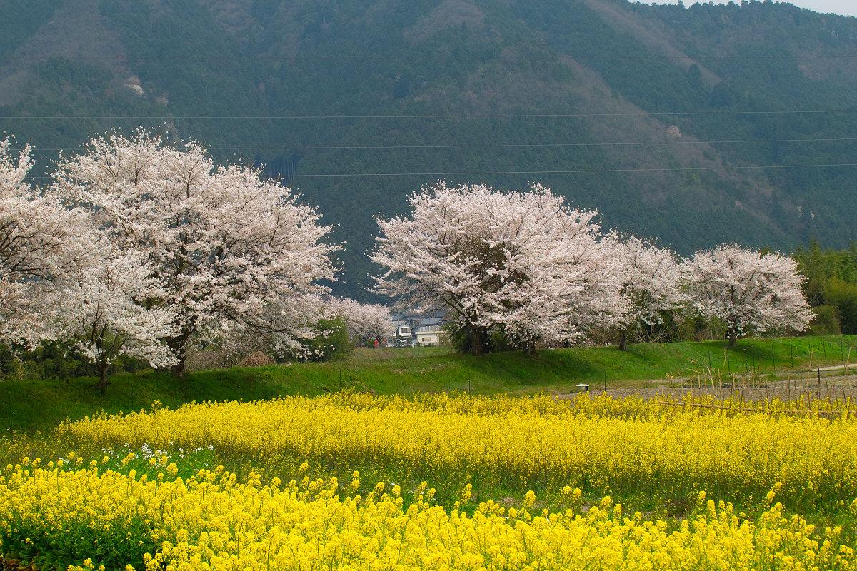 桜 2014 丹波                   _f0021869_23553440.jpg