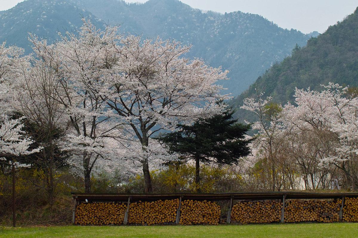 桜 2014 丹波                   _f0021869_23553764.jpg