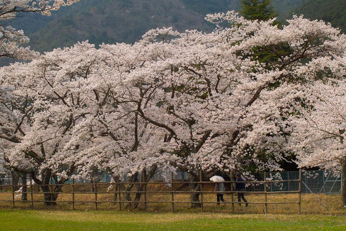 桜 2014 丹波                   _f0021869_2356976.jpg