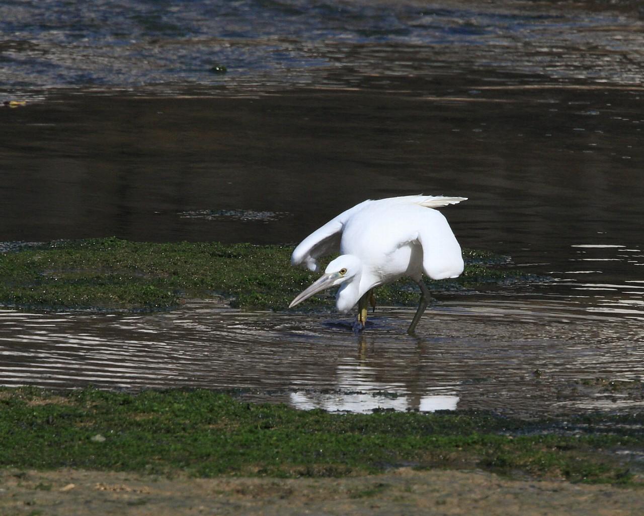 南の島遠征報告その11: 白いのにクロサギ?クロサギの白色型個体_f0105570_1124473.jpg