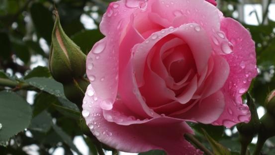 薔薇が咲き出しました♪_b0214473_18502816.jpg
