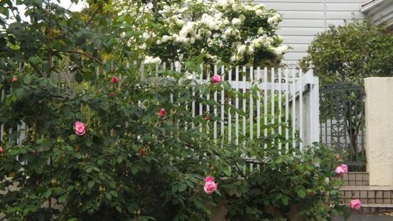 薔薇が咲き出しました♪_b0214473_185423100.jpg
