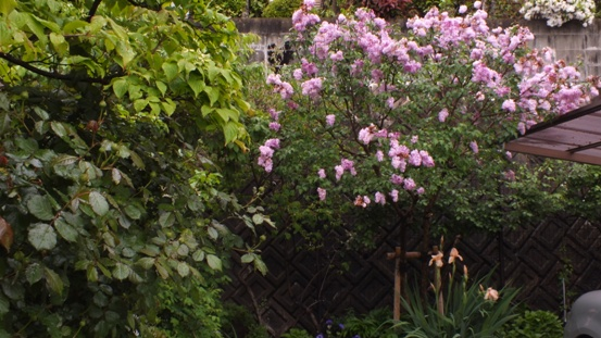 薔薇が咲き出しました♪_b0214473_1855175.jpg