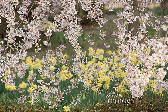 安養寺の枝垂桜_c0085877_19532687.jpg