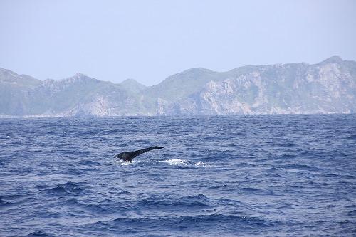クジラのシッポ(ザトウクジラ@久米島)_d0086785_22573584.jpg