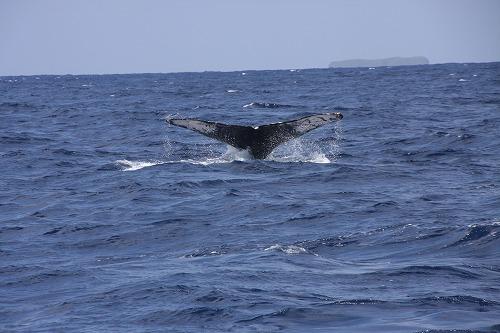 クジラのシッポ(ザトウクジラ@久米島)_d0086785_22584472.jpg