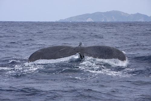 クジラのシッポ(ザトウクジラ@久米島)_d0086785_2259778.jpg