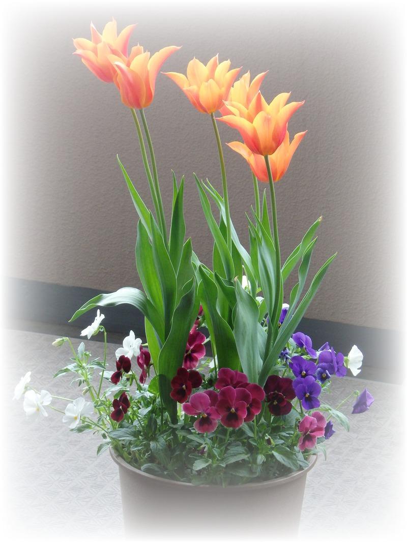 チューリップが咲きました♪_b0324291_19103335.jpg